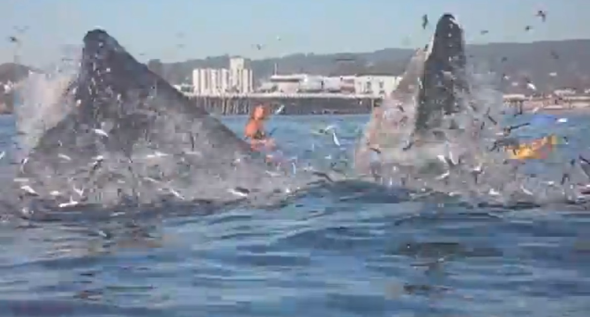 Whale/Surfer video shows unique closeup of how baleen whales get it done