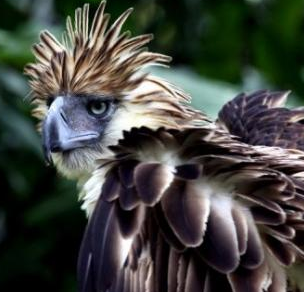 Rare pair of Philippine Eagles spotted in Apayao