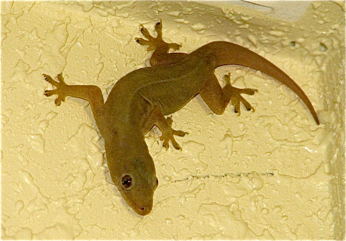 Illegal trade in gecko lizards leads to arrest of six who were about to ship 1,600 out of the Philippines